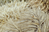The harvest of cereals. Gathered sheaves — Stock Photo