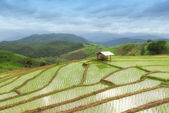 Green Terraced Rice Field in Pa Pong Pieng ,Chiang Mai, Thailand — Stock Photo