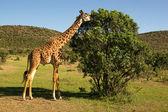 Giraffe — Stok fotoğraf