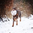 Fun doberman pinscher dog running — Stock Photo #53507943