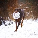 Fun doberman pinscher dog running — Stock Photo #53509353