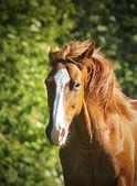 Beautiful horse running in nature — Stock Photo