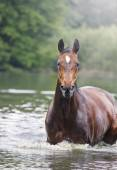 Beautiful thoroughbred horse swims in water lake — Photo