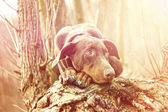 Beautiful sad doberman pinscher dog is waiting at sunset — Stock Photo