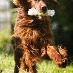 Irish setter dog running — Stock Photo #53533375
