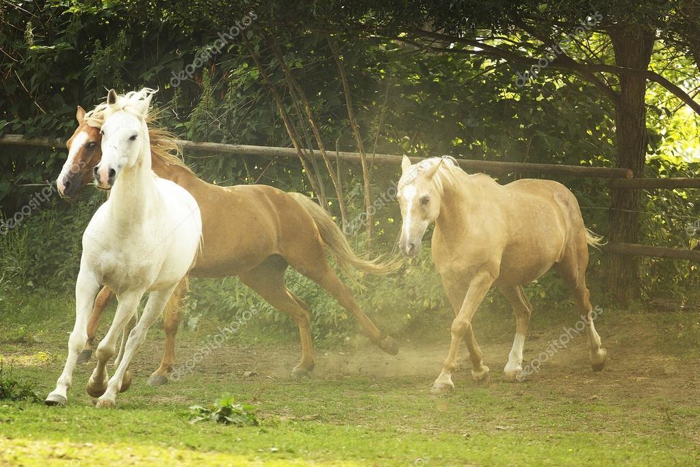 Herd of horses running in wild appaloosa arabian horse western