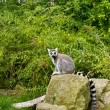 Ring-tailed lemur in zoo, selective focus — Stock Photo #59727135