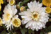 Chrysanthemums awaken — Stock Photo