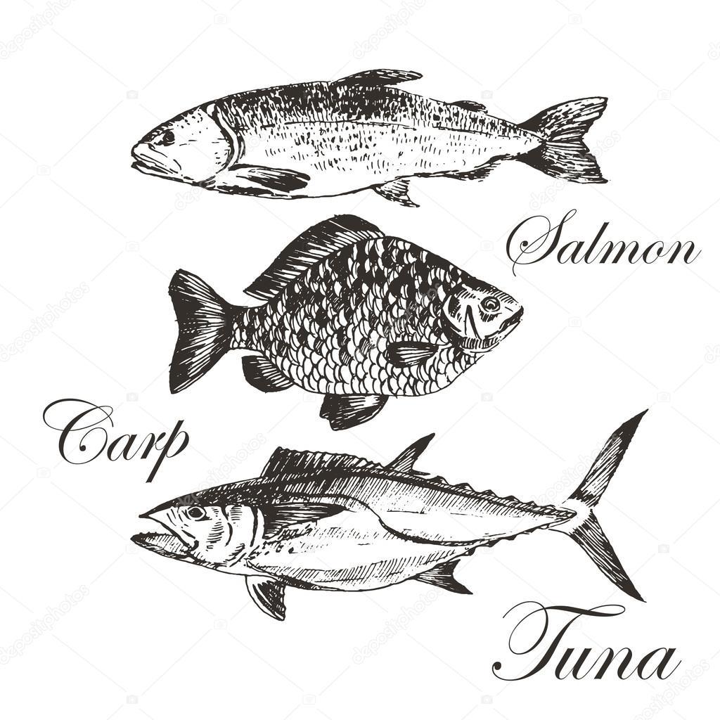 Vector vis schets tekening tonijn zalm forel karper - Dessin truite ...