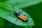 Beetle barbel — Stock Photo