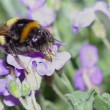 Bumblebee at work — Stock Photo #59427493