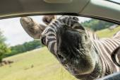 Funny face zebras in the car window — Stock Photo