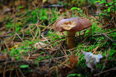 Gnawed and lonely fungus — Stock Photo
