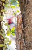 Agamidae, lizard on tree — Stock Photo
