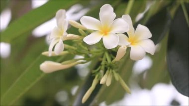 White plumeria blowing by wind — Stock Video