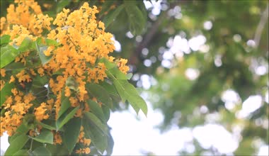 Blooming yellow flower, Indian rosewood — Stock Video