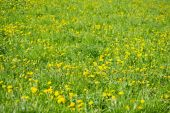 Yellow dandelion flowers with leaves in green grass — Stock Photo