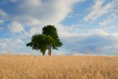 Old green trees in the middle of a field — Stock Photo