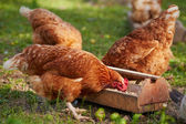 Chickens on traditional free range poultry farm — Stock Photo