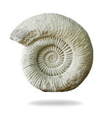 Ammonite prehistoric fossil on white background. — Stock Photo