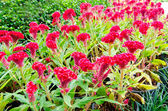 Red Celosia or Wool flowers or Cockscomb flower. — Stock Photo