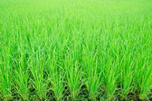 View of Young rice sprout ready to growing. — Stock Photo