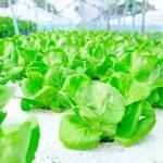 Green cos lettuce  butterhead hydroponics vegetable farm. — Stock Photo #67953143
