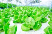 Green cos lettuce  butterhead hydroponics vegetable farm. — Stock Photo