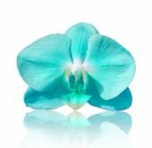 Orchidea di bel fiore, phalaenopsis blu — Foto Stock