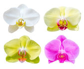 Collection of Phalaenopsis orchid flower. — Stock Photo