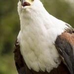 Bald eagle — Stock Photo #54283269
