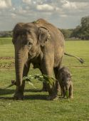 Asian elephant with her calf — Stock fotografie