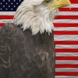 Bald eagle with the american flag — Stock Photo #55811789