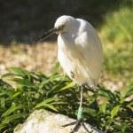 Great white egret — Stock Photo #56001777