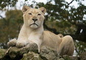 Female white lion — Foto de Stock