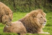 мужчины-львы — Стоковое фото