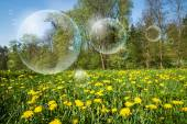 Flowering dandelions and flying bubbles from bubble blower — Stock Photo