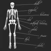 White human bones skeleton with description eps10 — Stock Vector