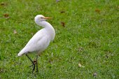 One white bird walking on grass photo — Stock Photo