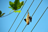 Dead dried big bat on the power line — Stock Photo