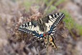 Beautiful butterfly Mahaon — Stock Photo
