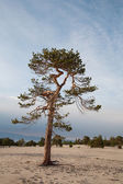 Lonely conifer tree — Stock Photo