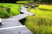 Boardwalks in rice. — Stock Photo