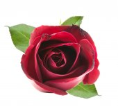 On top red rose  — Stock Photo