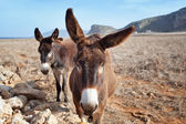 Couple of donkeys — Stock Photo
