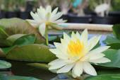 Macro close up white yellow lotus flower or weter lilly — Stock Photo