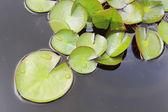 Green lotus leaves — Stock Photo