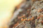 Red weaver ants help together. — Stock Photo
