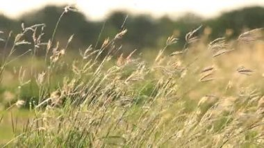 Flower Grass in breeze, Moved by Summer Wind Nature. — Stock Video