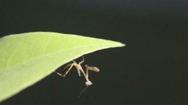 Praying Mantis on Tree branch, Macro close up mode. — Stock Video